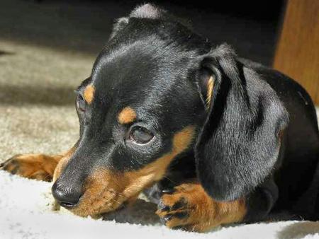 Thor the Dachshund Pictures 27984