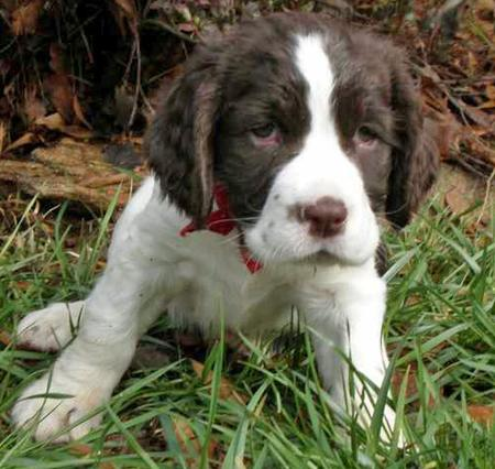 Bella the English Springer Spaniel Pictures 28934