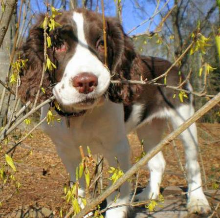Bella the English Springer Spaniel Pictures 28924