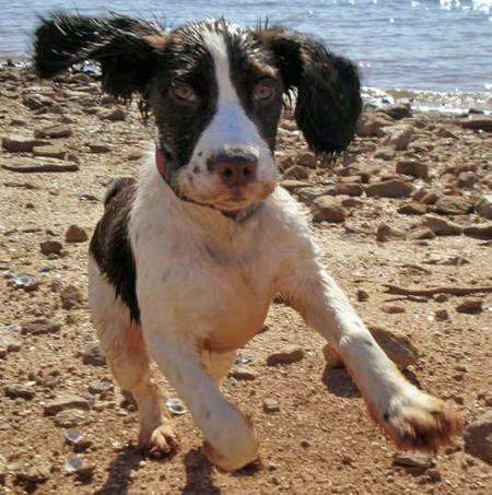 Bella the English Springer Spaniel Pictures 28927
