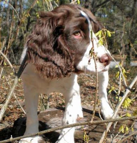 Bella the English Springer Spaniel Pictures 28921