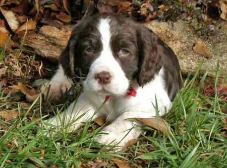 Bella the English Springer Spaniel Pictures 28918