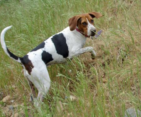 Maggie May the Walker Coonhound Pictures 37665