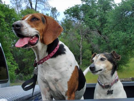 Maggie May the Walker Coonhound Pictures 37672
