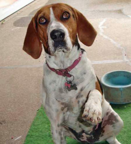 Maggie May the Walker Coonhound Pictures 37661