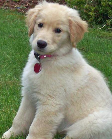 Samantha the Golden Retriever Pictures 30663