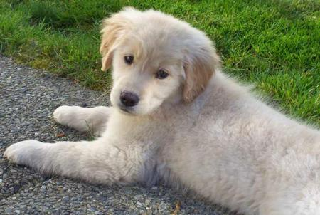 Samantha the Golden Retriever Pictures 30662
