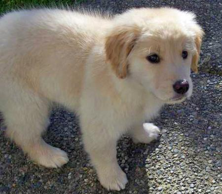 Samantha the Golden Retriever Pictures 30661