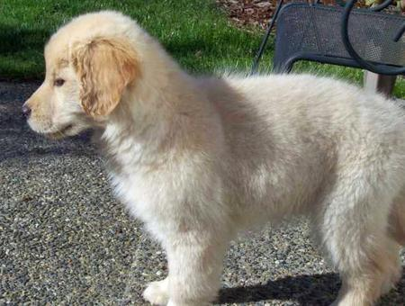 Samantha the Golden Retriever Pictures 30660