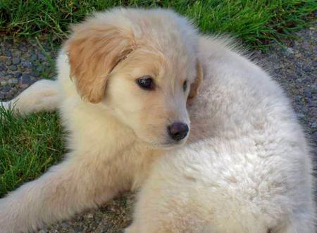 Samantha the Golden Retriever Pictures 30658