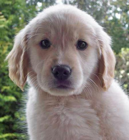 Samantha the Golden Retriever Pictures 30657