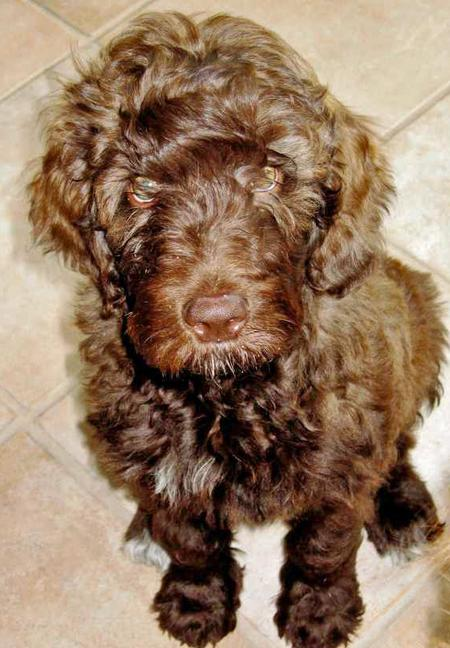 Murphy the Labradoodle Pictures 32553