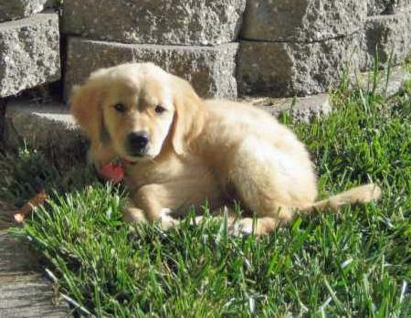 Cali the Golden Retriever Pictures 30026
