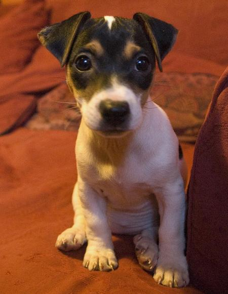 Jackie the Jack Russell Terrier Pictures 30069
