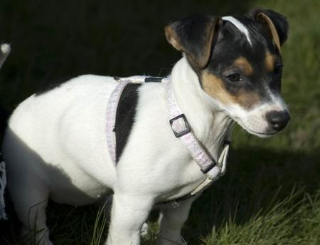 Jackie the Jack Russell Terrier Pictures 30068