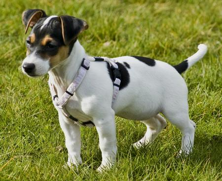 Jackie the Jack Russell Terrier Pictures 30067