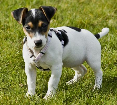Jackie the Jack Russell Terrier Pictures 30066