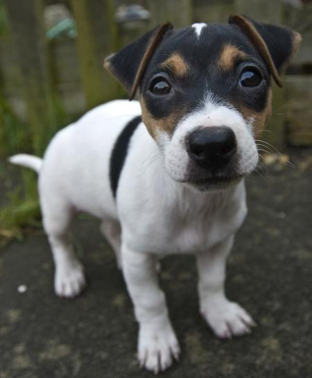 Jackie the Jack Russell Terrier Pictures 30072