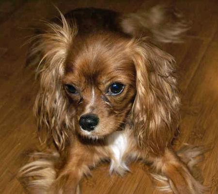 Penny the Cavalier King Charles Spaniel Pictures 30874