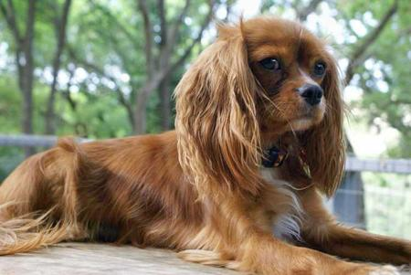 Penny the Cavalier King Charles Spaniel Pictures 30873