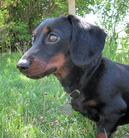Meghan the Dachshund Pictures 33863