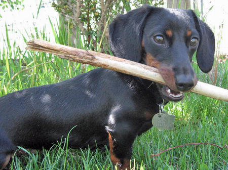 Meghan the Dachshund Pictures 33861