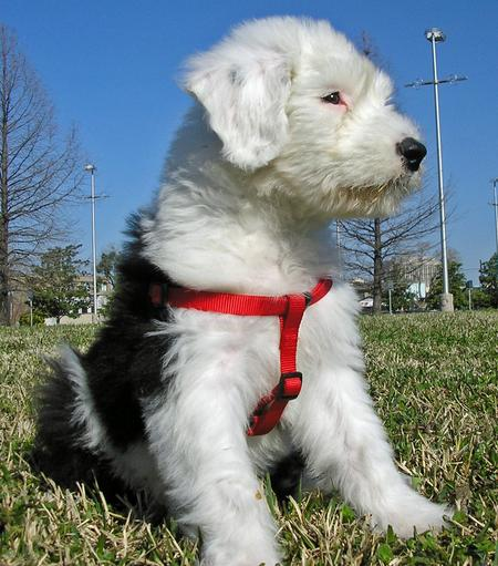 Otis the Old English Sheepdog Pictures 31296