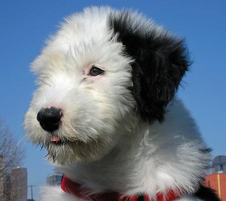 Otis the Old English Sheepdog Pictures 31295