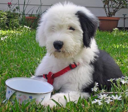 Otis the Old English Sheepdog Pictures 31293