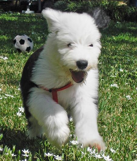 Otis the Old English Sheepdog Pictures 31292