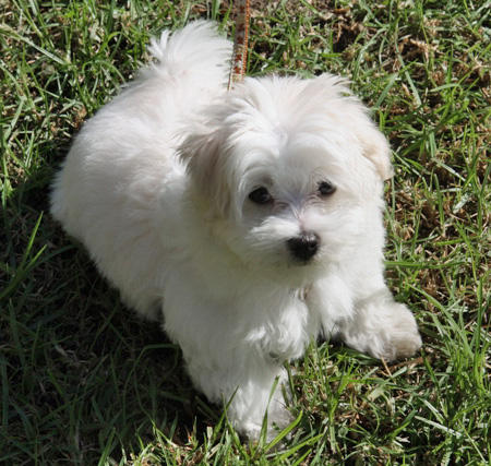 Marshmallow the Maltese Pictures 61029