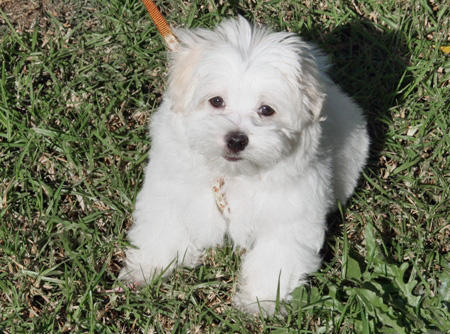 Marshmallow the Maltese Pictures 61027