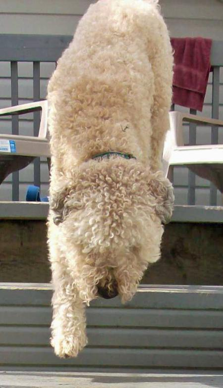 Montana the Soft Coated Wheaten Terrier Pictures 32222