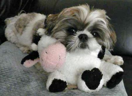 Madison the Shih Tzu Pictures 33812