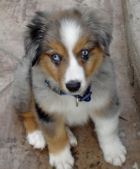 Nemo the Miniature Australian Shepherd Pictures 34576