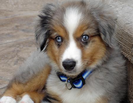 Nemo the Miniature Australian Shepherd Pictures 34573