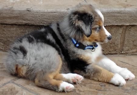 Nemo the Miniature Australian Shepherd Pictures 34571