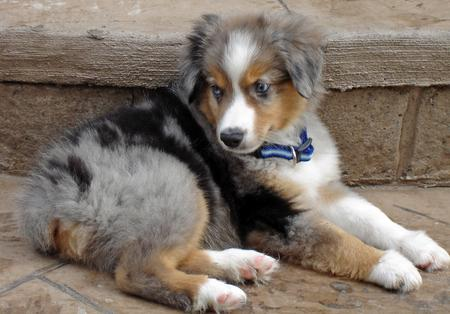 Nemo the Miniature Australian Shepherd Pictures 34570
