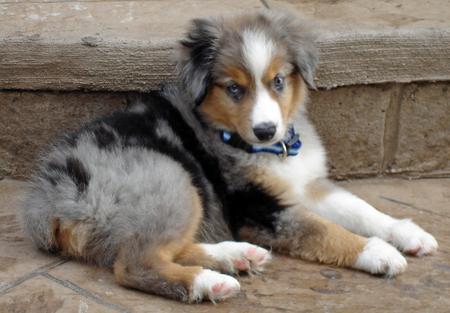 Nemo the Miniature Australian Shepherd Pictures 34569