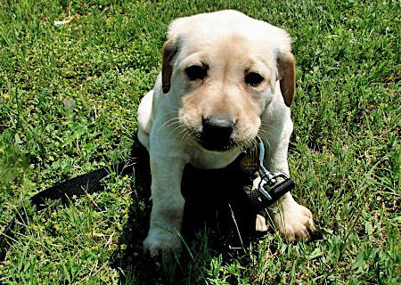Jane the Labrador Retriever Pictures 50782