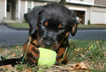 Portia the Rottweiler Pictures 34868