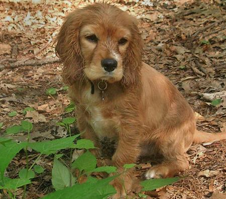 Charlie the Spaniel Mix Pictures 57480