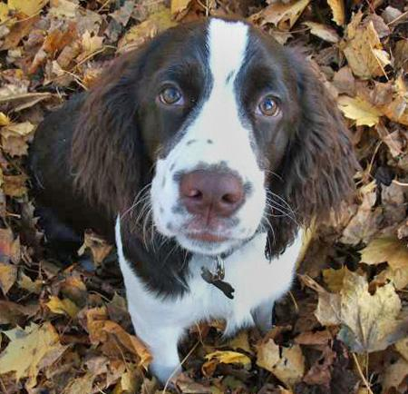 Milou the English Springer Spaniel Pictures 35506