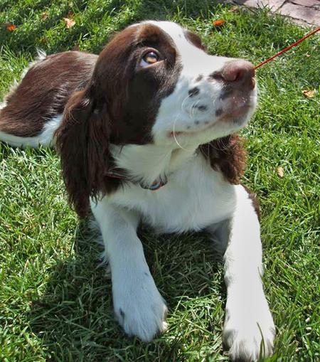 Milou the English Springer Spaniel Pictures 35505