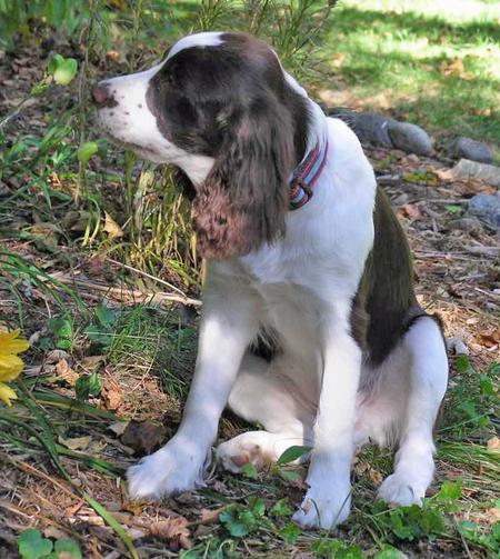 Milou the English Springer Spaniel Pictures 35511