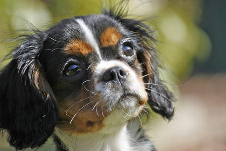 Cassie the Cavalier King Charles Spaniel Pictures 36538