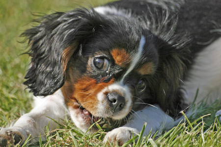 Cassie the Cavalier King Charles Spaniel Pictures 36535
