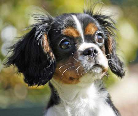 Cassie the Cavalier King Charles Spaniel Pictures 36533