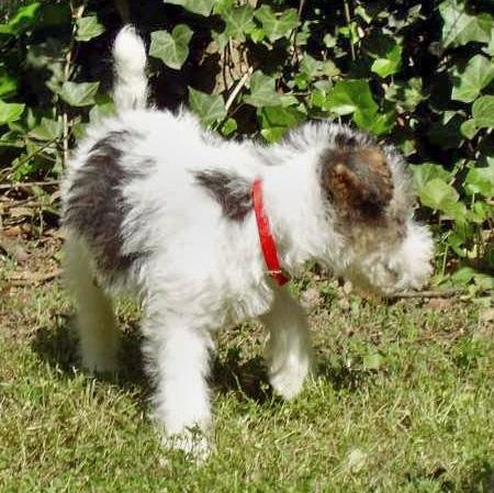 Nicky the Wire Fox Terrier Pictures 36623