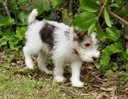Nicky the Wire Fox Terrier Pictures 36627